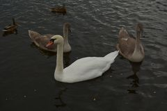 Big white swan with chicks stock image