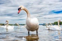 Big white swan Stock Photo