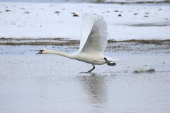 Big white swan taking off for flight while running on water stock photo