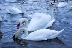 Big white swan Royalty Free Stock Photo