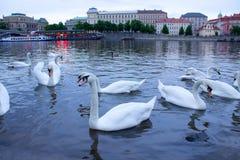 Big white swan Stock Image