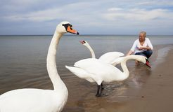 Big white swans on coast of Baltic Seas. Woman feeds big white swans on coast of Baltic Sea Royalty Free Stock Photography