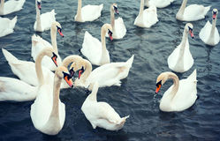 Big white swans Stock Images