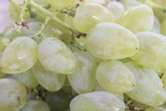 big white sweet grape for eating and dessert stock images