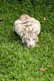 Big white tiger Royalty Free Stock Image