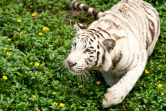 Big white tiger Royalty Free Stock Photo
