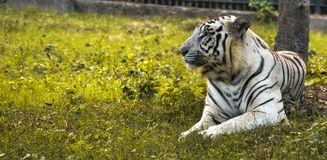 Big White tiger sitting on yellow grasses in a zoo. stock photo