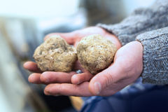 Big white truffles on the hand Royalty Free Stock Photography