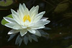 Big white water lily on the dark water Stock Photography
