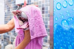 Big white and wet Akita Inu dog bathing in the bathtub with funny face expression, selective focus.  stock image
