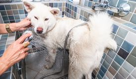 Big white and wet Japanese Akita Inu dog bathing in the bathtub with funny face expression, selective focus. Dog bathing. Big white and wet Japanese Akita Inu royalty free stock photos