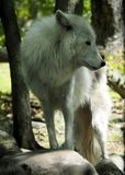 Big White Wolf Stock Images