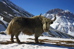 Big white yak. In himalayan mountain Stock Image