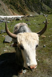 Big white Yak close up Royalty Free Stock Photography