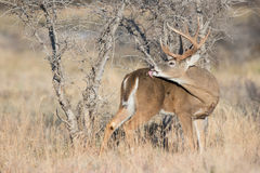 Big whitetail buck grooming his back Royalty Free Stock Images