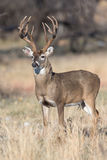 Big whitetail buck with massive grow tines Royalty Free Stock Image