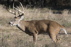Big whitetail buck panting during the rut Royalty Free Stock Photos