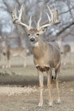 Big whitetail buck in vertical photo Royalty Free Stock Photo