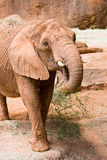 A big wild African elephant Stock Images