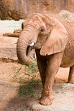 A big wild African elephant Royalty Free Stock Photos