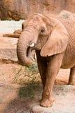A big wild African elephant Royalty Free Stock Photos