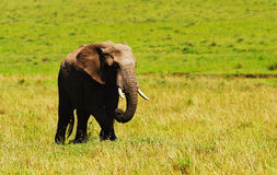 Big wild african elephant Stock Images