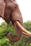 Big wild african elephant eating Stock Photography