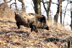 A big wild boar stock images