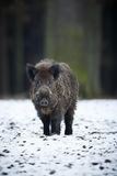 Big wild boar in the european forest Stock Image