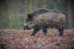 Big wild boar in the european forest Royalty Free Stock Photo