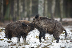 Big wild boar in the european forest Royalty Free Stock Images