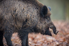 Big wild boar in the european forest Royalty Free Stock Image