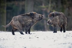 Big wild boar in the european forest Royalty Free Stock Photography