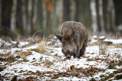 Big wild boar in the european forest Stock Photos