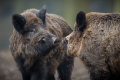 Big wild boar in the european forest. /wild animal in the nature habitat/Czech Republic/males fighting/mother and piglets stock images