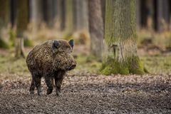 Big wild boar in the european forest. /wild animal in the nature habitat/Czech Republic/males fighting/mother and piglets Stock Image