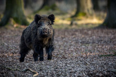 Big wild boar in the european forest. /wild animal in the nature habitat/Czech Republic/males fighting/mother and piglets Royalty Free Stock Images