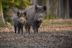 Big wild boar in the european forest. /wild animal in the nature habitat/Czech Republic/males fighting/mother and piglets Royalty Free Stock Photos