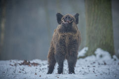 Big wild boar in the european forest. /wild animal in the nature habitat/Czech Republic/males fighting/mother and piglets Royalty Free Stock Image