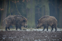 Big wild boar in the european forest. /wild animal in the nature habitat/Czech Republic/males fighting/mother and piglets Stock Photo