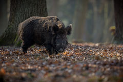 Big wild boar in the european forest. /wild animal in the nature habitat/Czech Republic/males fighting/mother and piglets Stock Photography