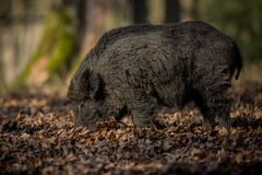 Big wild boar in the european forest. /wild animal in the nature habitat/Czech Republic/males fighting/mother and piglets stock photos