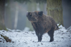 Big wild boar in the european forest. /wild animal in the nature habitat/Czech Republic/males fighting/mother and piglets royalty free stock photography
