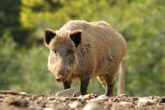 Big wild boar in a glade Stock Photos