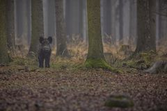 Free Big Wild Boar In The European Forest Stock Images - 81256744