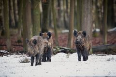 Free Big Wild Boar In The European Forest Royalty Free Stock Photos - 81257278