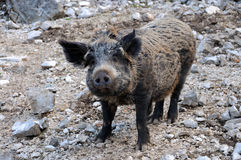 Big wild boar Stock Photo