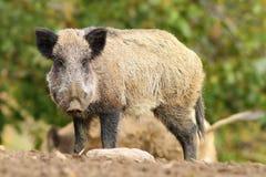 Big wild boar Stock Photo
