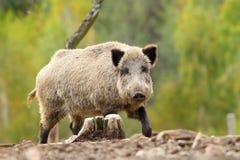 Big wild boar Stock Photos