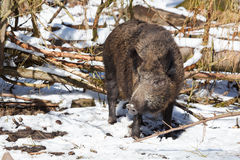 Big wild boar sow. Female wild boar sow in a snowy white winter forest Stock Image